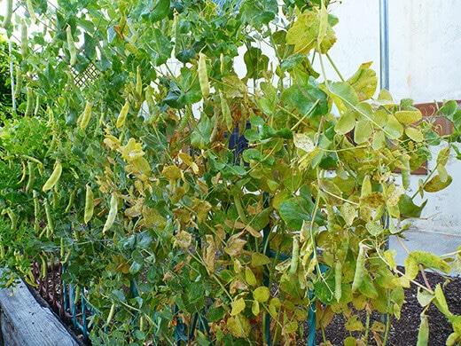 Snow peas at the end of their season