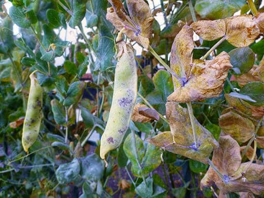 Letting snow pea pods dry out to collect seeds