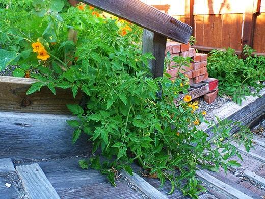 Volunteer tomato plants