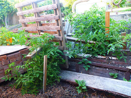 """Volunteer tomato plants """"staked"""" with pallets"""