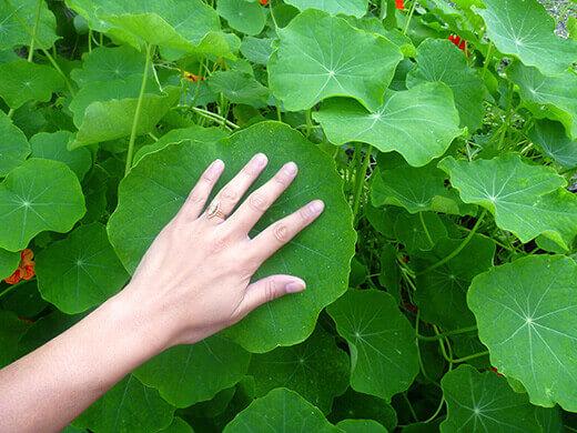 Giant nasturtium leaf