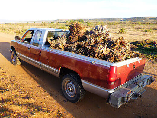 Truck full of yuccas