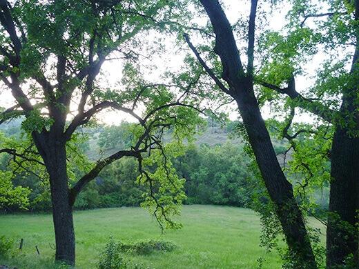 Sprawling oaks