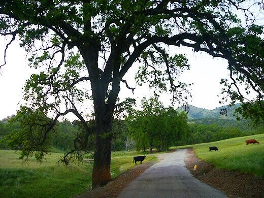 Cows in a field of oak trees