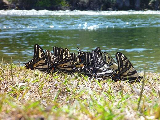 Butterfly send-off at Garnet Dike