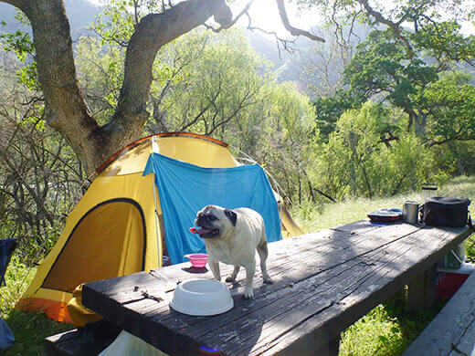 Panting pug at the campsite