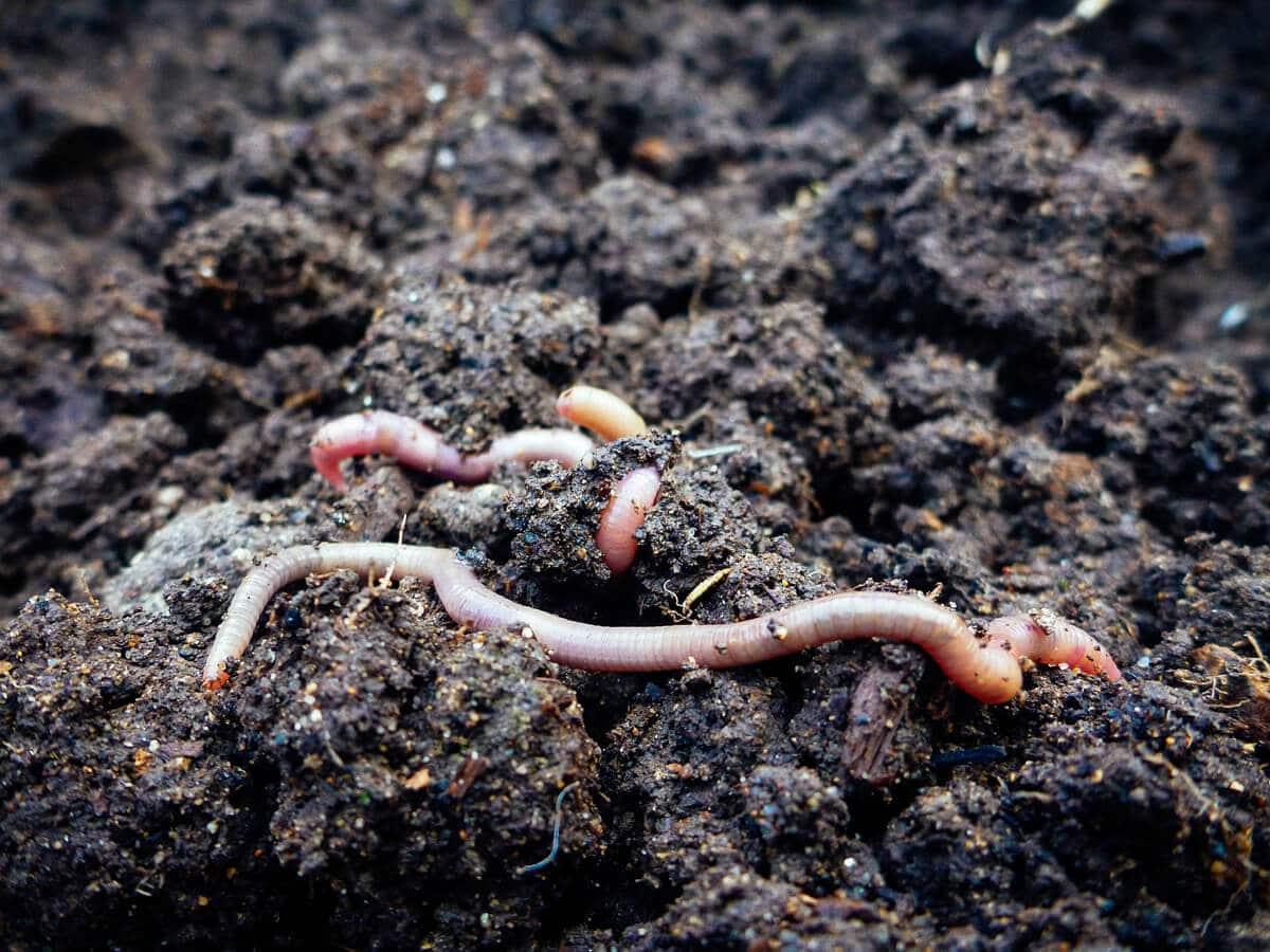 Mycobacterium vaccae in the soil