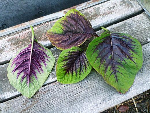 Edible red leaf amaranth