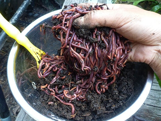 A pound of red wiggler worms