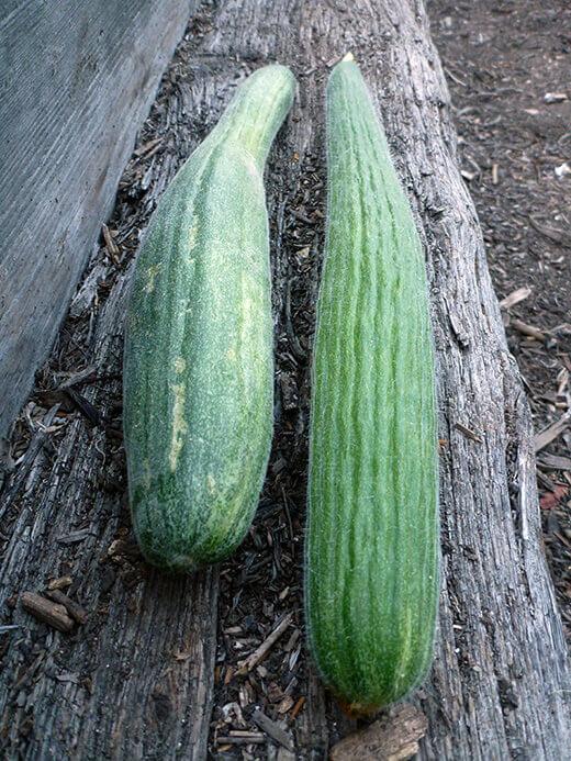 Metki dark green serpent melons