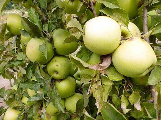 Fresh apples in fall