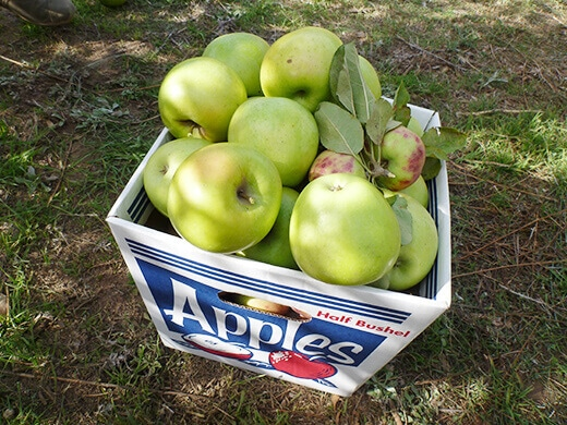 A half bushel of freshly picked apples