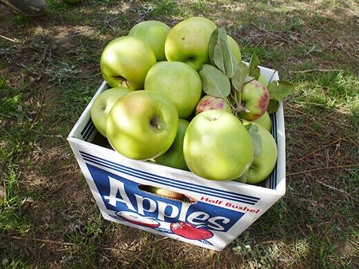 A half bushel of freshly picked apples