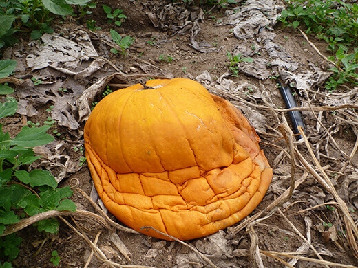 Deflated pumpkin