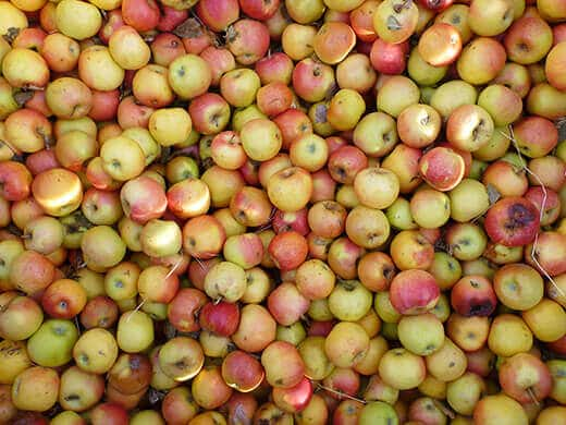 Fresh apples for cider