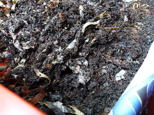 Processed compost in the worm bin