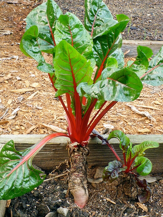 Chard plant in its second year