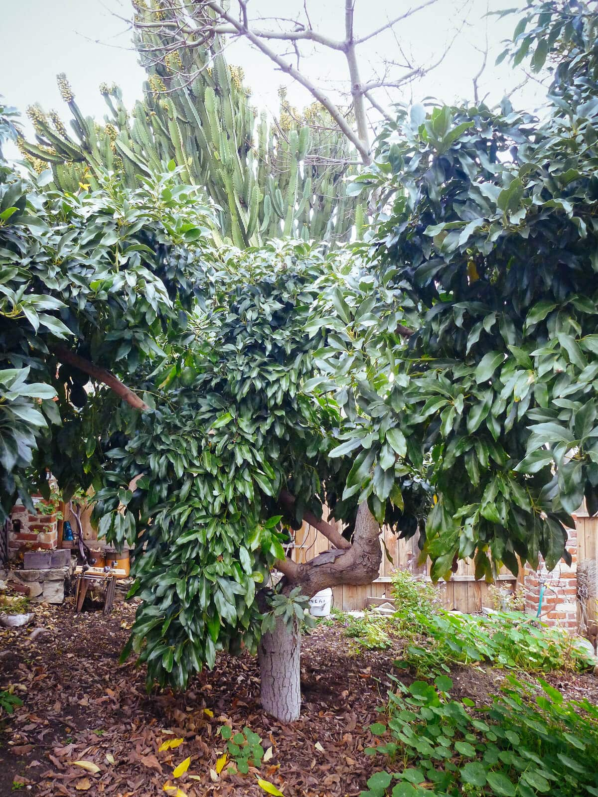 Mature avocado tree for sale australia