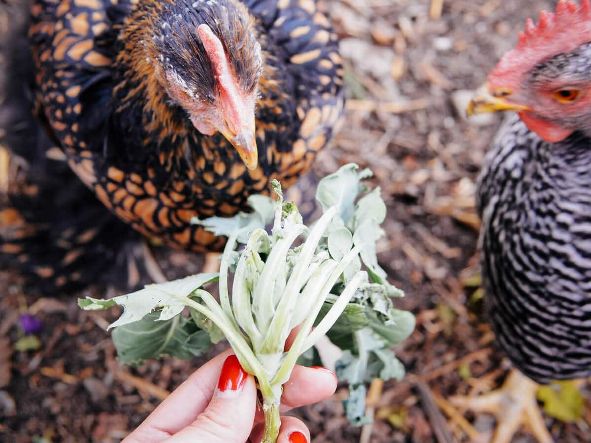Let your chickens clean up end-of-season plants