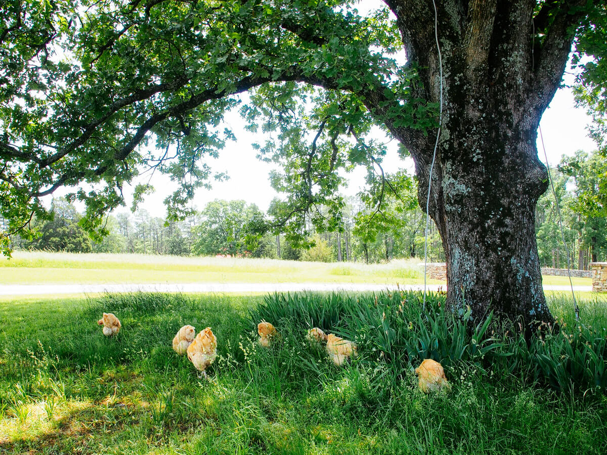 A flock of hens foraging on a natural wild lawn of grass, clover, and weeds