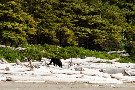 Bear sighting in the Pacific Rim National Park Preserve