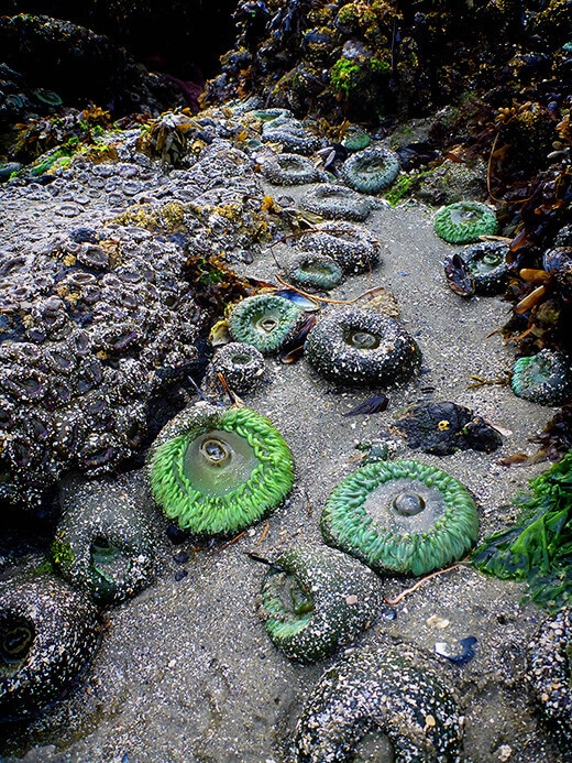 Sea anemones in the Clayoquot Sound Biosphere Reserve.