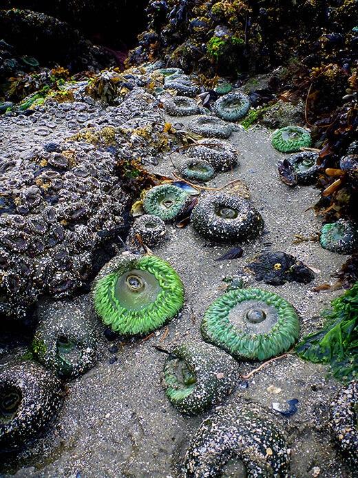Sea anemones in the Clayoquot Sound Biosphere Reserve.