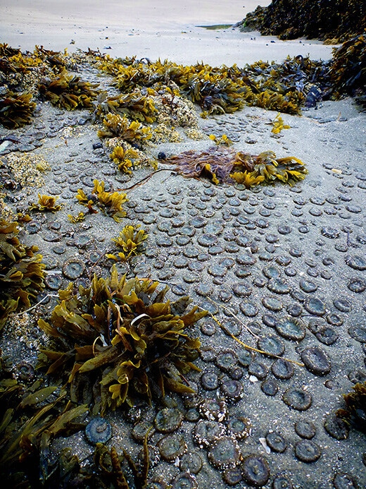 A colony of sea anemones.