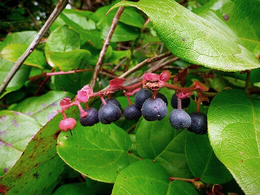Wild blueberries.