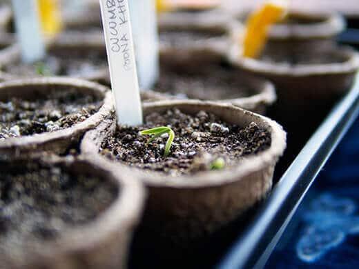 Seedlings starting to emerge