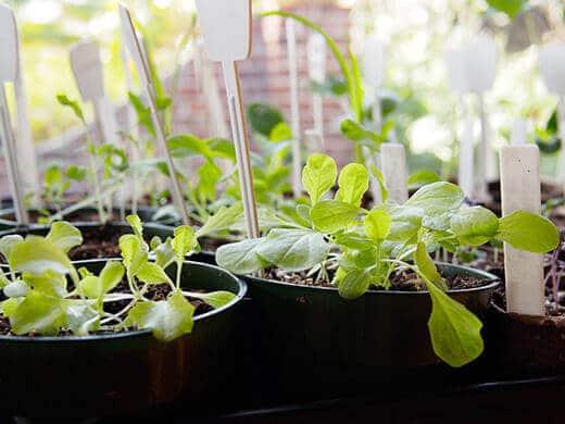 Leafy green seedlings