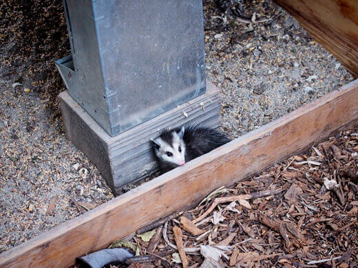 Baby opossum in the chicken coop