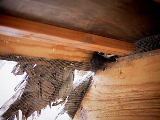 Opossum in the coop