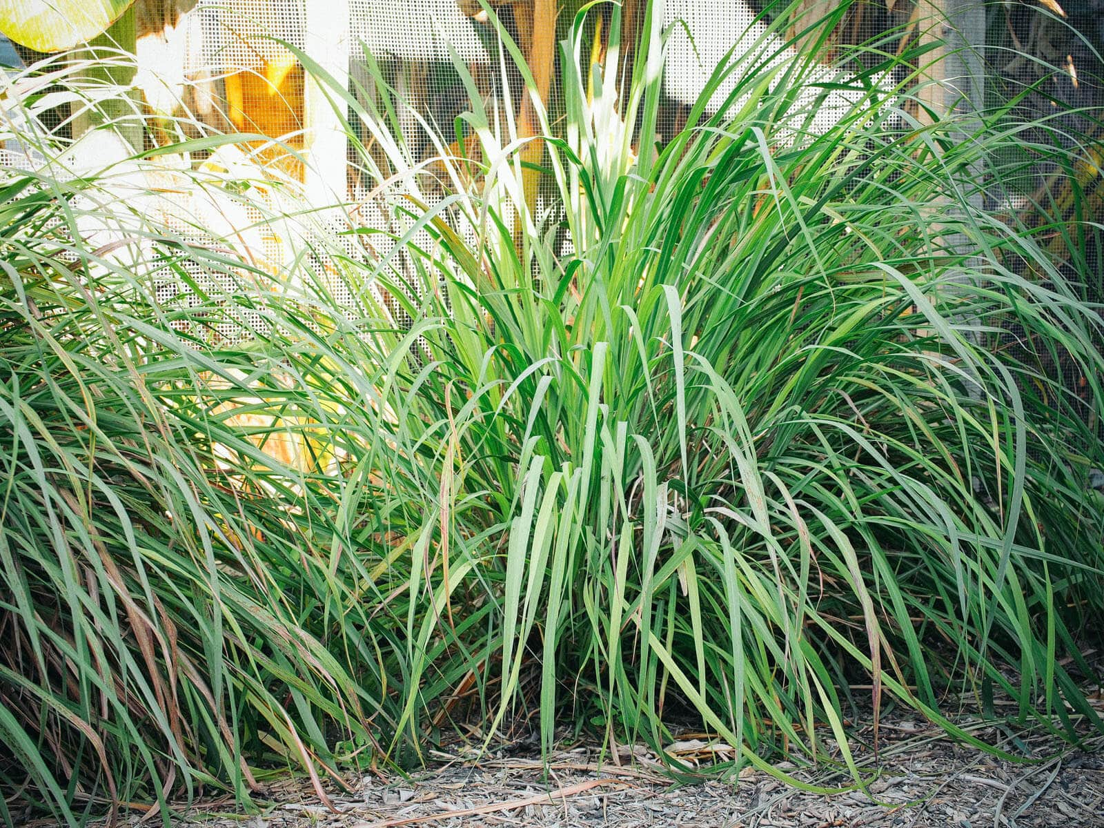 Two-year lemongrass update (and how to tame that wild thing)