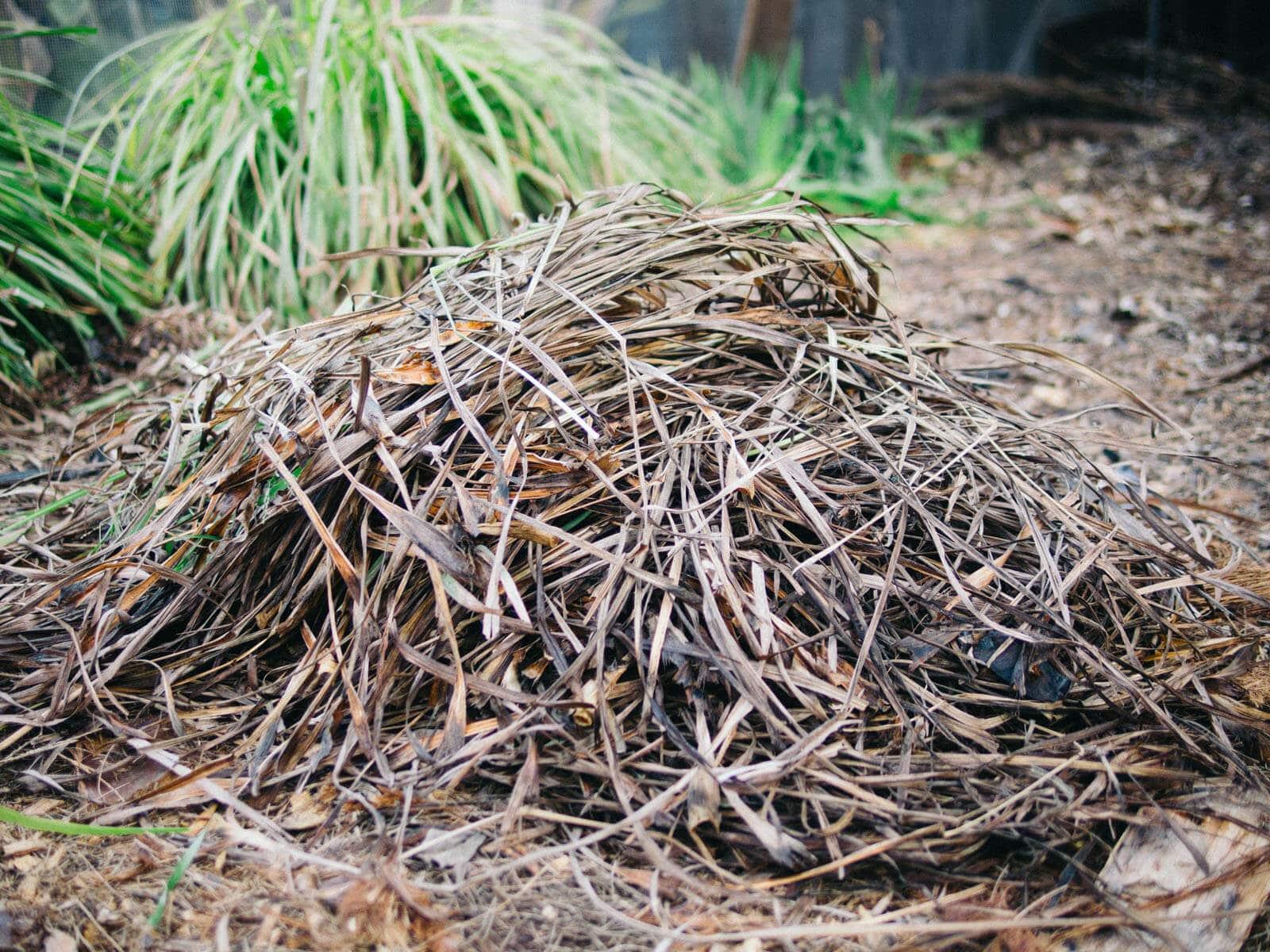 Dead lemongrass leaves