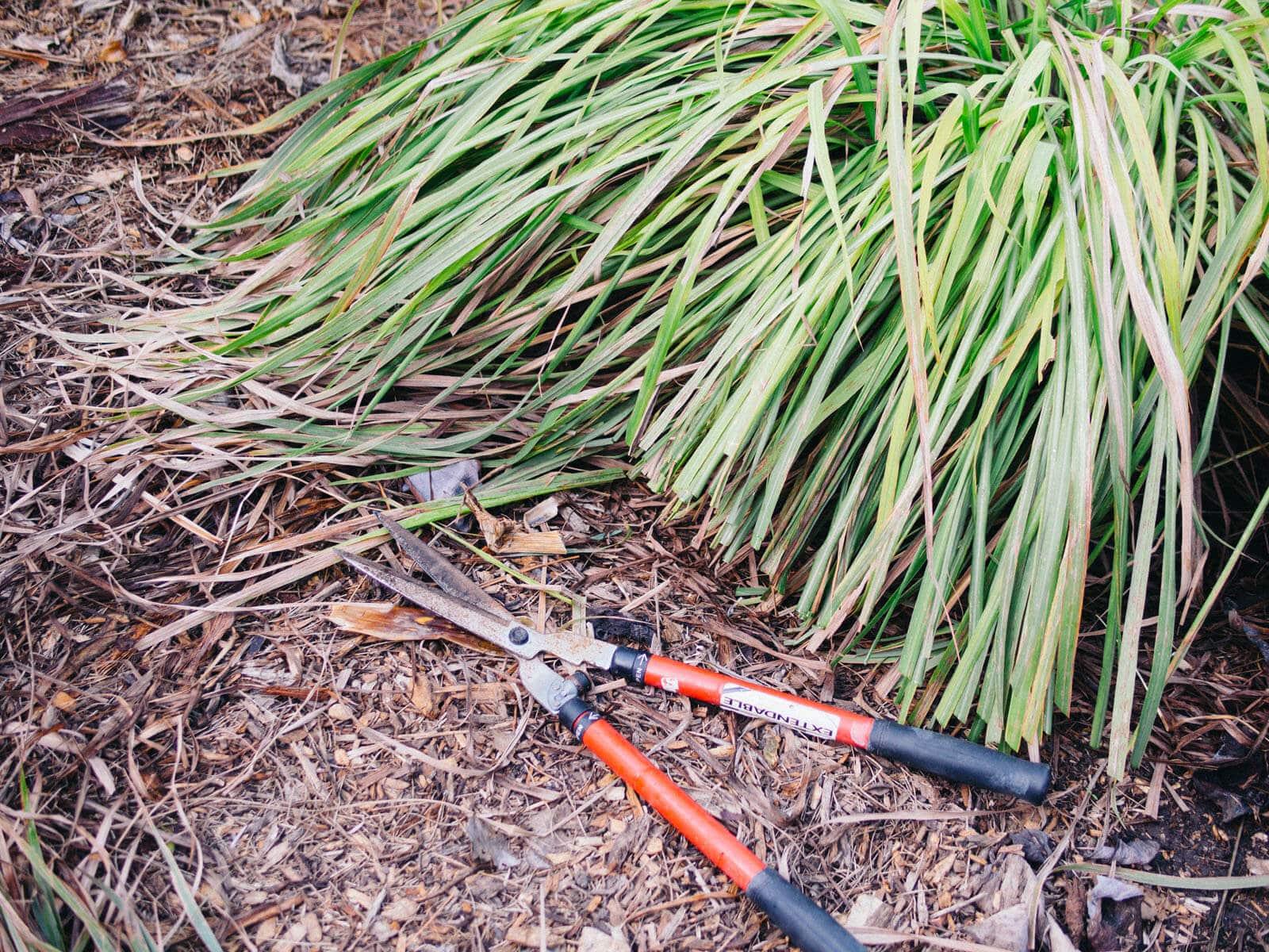 Pruning lemongrass