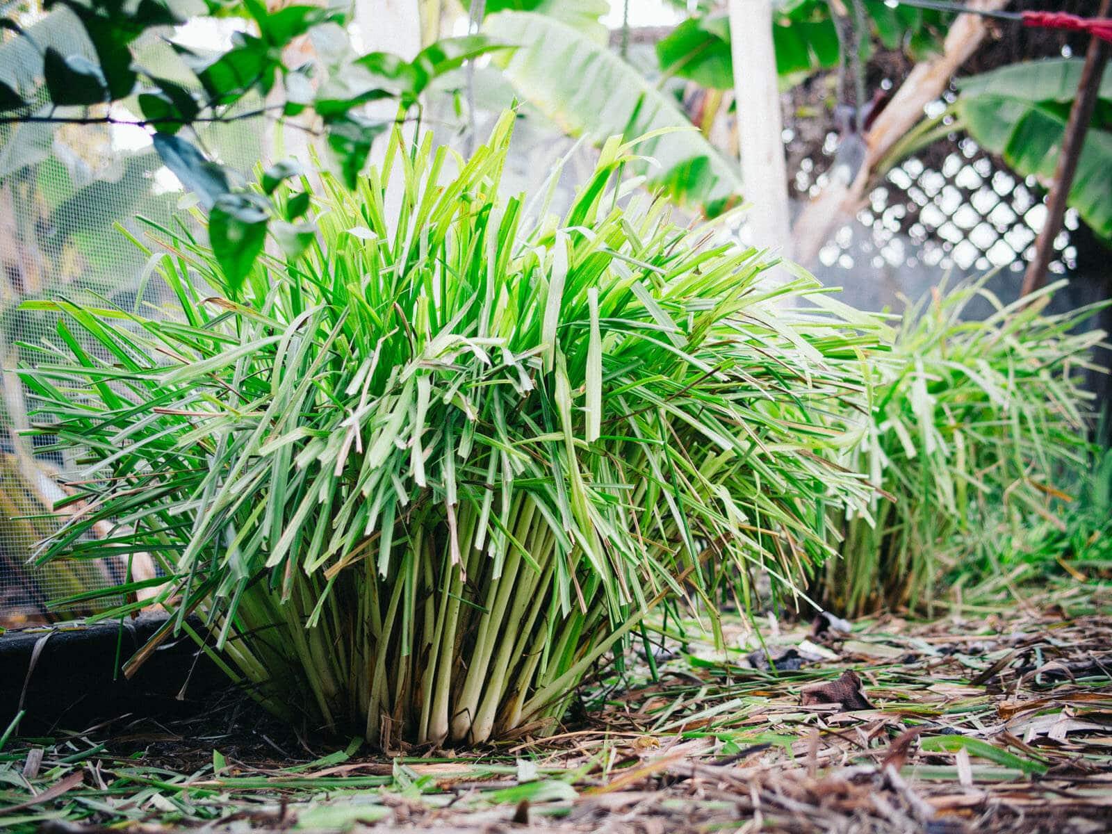 Healthy lemongrass clump