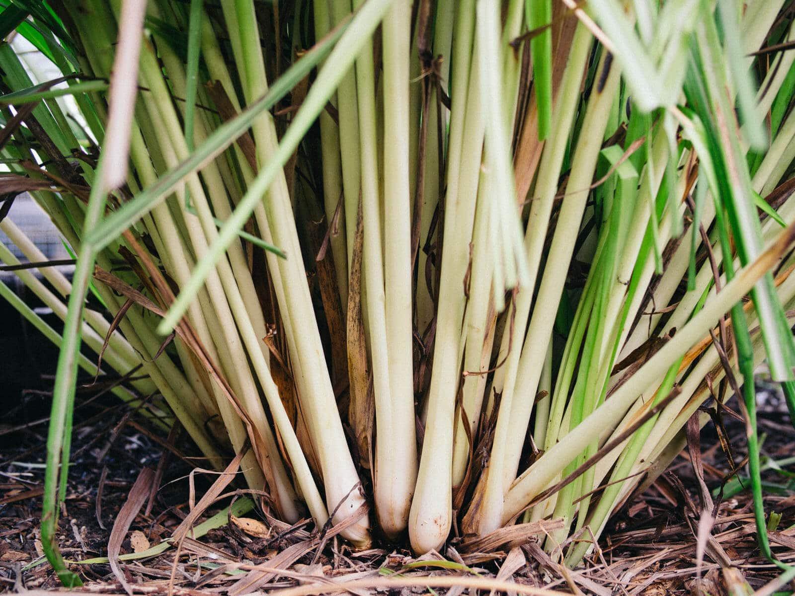 Healthy lemongrass stalks