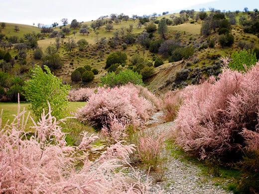 Pink shrubs