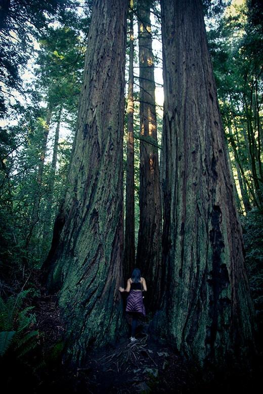 California redwood tree in Steep Ravine