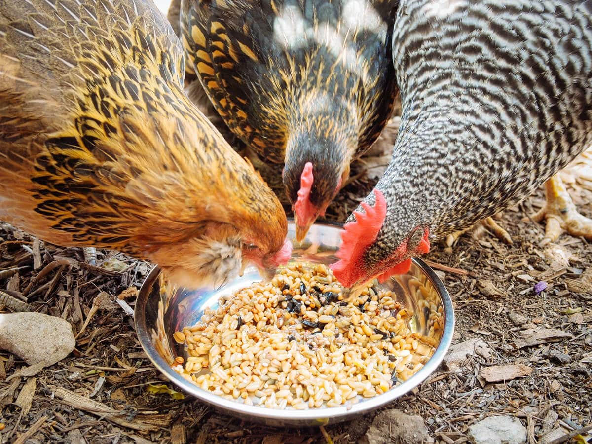 Chickens devouring fermented feed