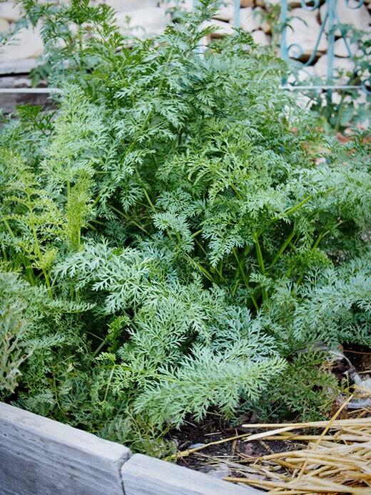 Carrot tops in the garden