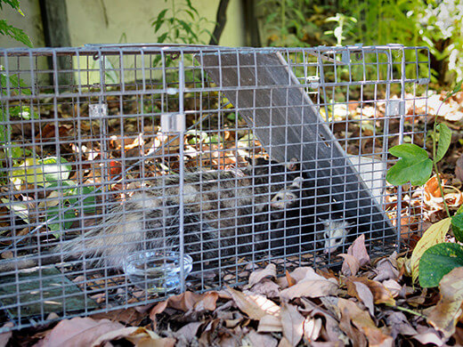 Opossums in a Havahart trap