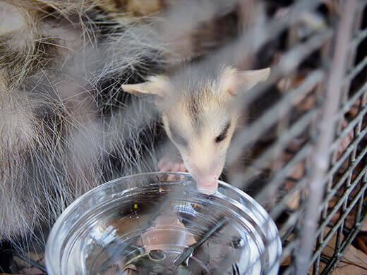 Baby opossum drinking from a bowl