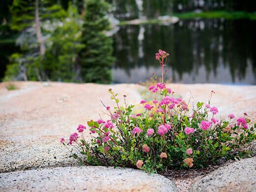 Pink wildflowers at Raisin Lake