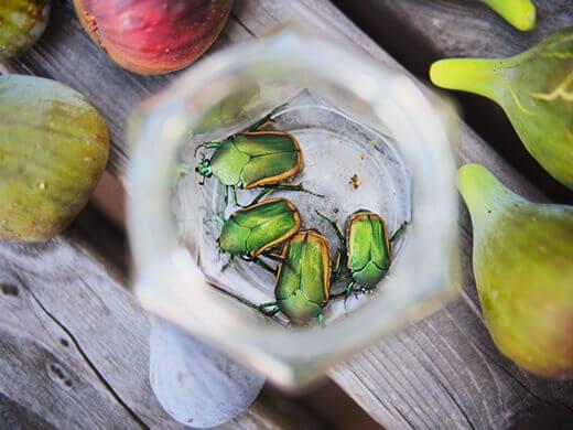 Fig beetles