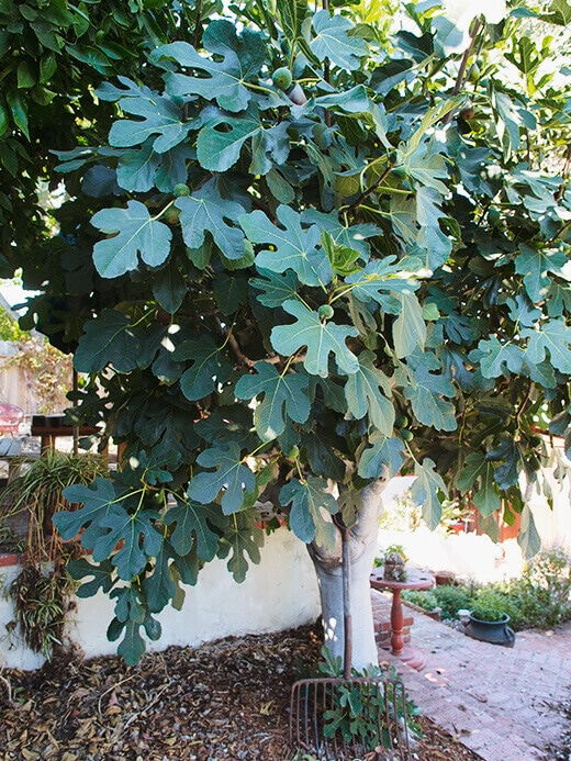 Hundred-year-old fig tree
