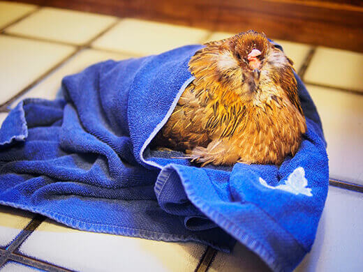 The spa treatment for sick chickens