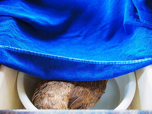 Cover your chicken's head with a towel
