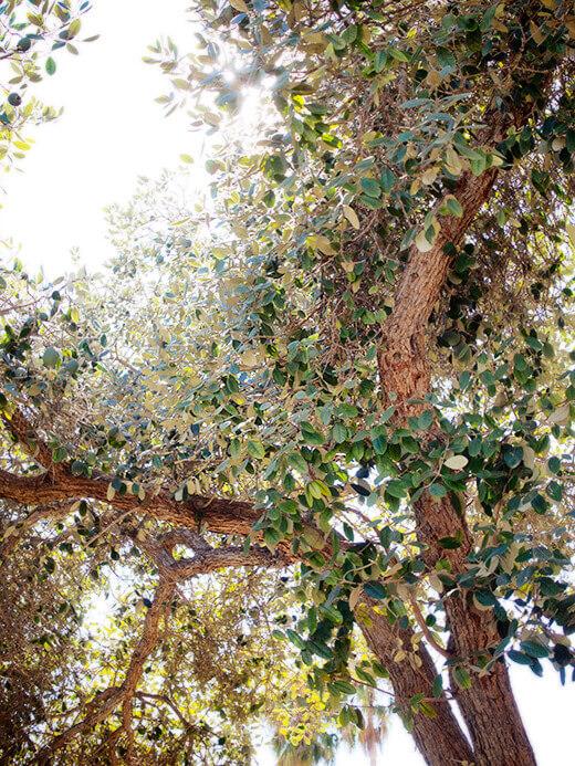 Mature feijoa tree